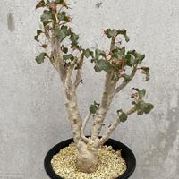 49、Dorstenia gypsopila