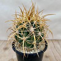 88、Ferocactus 黄金冠