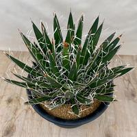 109、Agave filifera var. schidigera