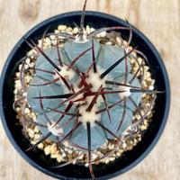 34、Echinocactus スーパーニコリー(実)