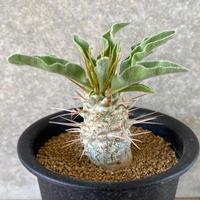 12、Pachypodium namaquanum