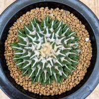 129、Ariocarpus 黒牡丹(実)
