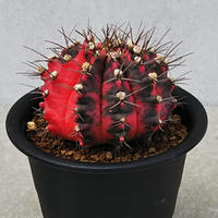 118、Gymnocalycium 緋牡丹錦(接木)
