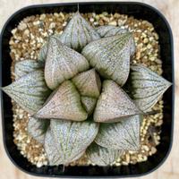 158、Haworthia ホワイトスプレンデンス