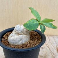 46、Euphorbia プリムリフォリア