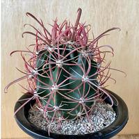 40、Ferocactus 刈穂玉
