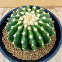 124、Echinocactus 刺無金鯱(実)