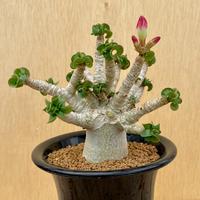 72、Adenium arabicum curly