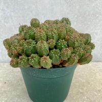 133、Euphorbia サブマミラリス・モンスト