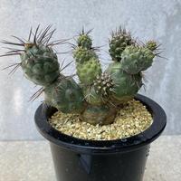 12、Tephrocactus アレキサンデリー(V)ブルチー(実生)
