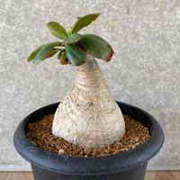 13、Euphorbia primulifolia