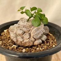 12、Dioscorea 亀甲竜