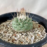 84、Strombocactus 菊水(実)