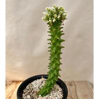 132、Euphorbia グエンテリー