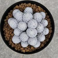 138、Mammillaria 白鷺