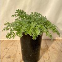 11、Pelargonium アペンディクラータム