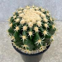 102、Echinocactus プラチナ金鯱