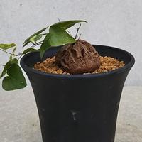 108、Dioscorea 亀甲竜