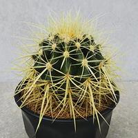 131、Echinocactus 長強刺金鯱