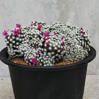 77、Mammillaria 仏頭姫春星