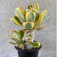 154、Euphorbia poisonii variegata