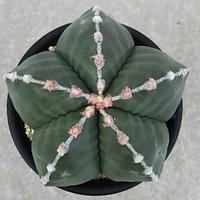 35、Astrophytum 雪陵ヘキラン