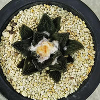 27、Ariocarpus 大疣ブラボアナス(実)