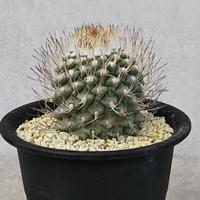 75、Strombocactus 菊水(実生)