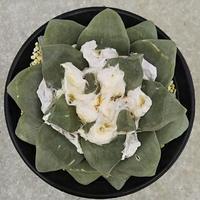 128、Ariocarpus 玉牡丹