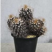 17、Turbinicarpus 長城丸