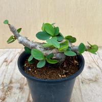 48、Euphorbia itemensis