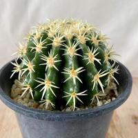 86、Echinocactus 短刺金鯱(実)