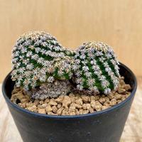 145、Mammillaria ヘルナンデシー(実)
