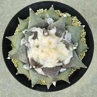 24、Ariocarpus 花牡丹