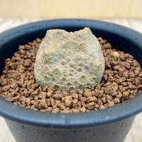 49、Pseudolithos cubiforme