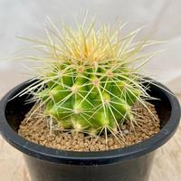 49、Echinocactus 早咲強刺金鯱