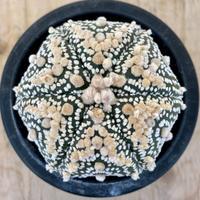 131、Astrophytum ウルトラ花園兜(実)
