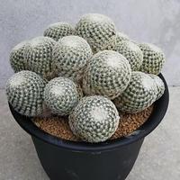 114、Mammillaria solisioides