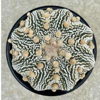 117、Astrophytum  濃白点兜