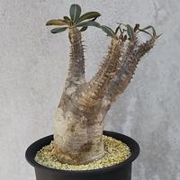 96、Pachypodium rosulatum var.cactipes