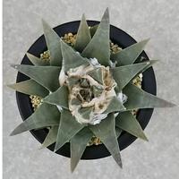20、Ariocarpus 雅牡丹(実)