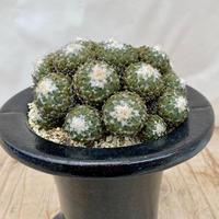 59、Pelecyphora 銀牡丹