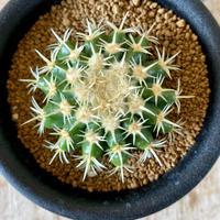 32、Echinocactus 刺無金鯱(実)
