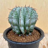 98、Euphorbia ホリダアルバ