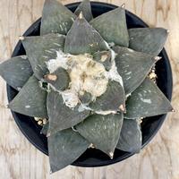 108、Ariocarpus 花牡丹(実)
