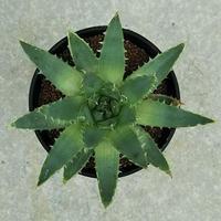 99、Aloe ポリフェラ