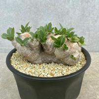 56、Pachypodium brevicaule
