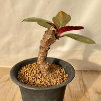 15、Monadenium spectabile