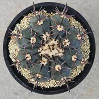 77、Echinocactus 太短刺雷帝(実生)