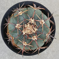 136、Echinocactus 花王丸(実)